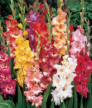 Gladiolus, Fordhook Ruffled Pastel Mix, , large
